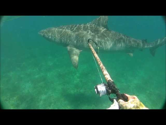 13 Foot Tiger Shark Comes Up Behind Diver