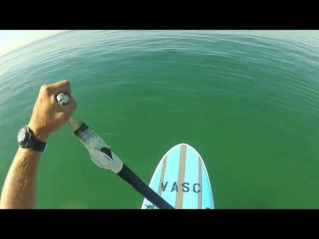 Great White Shark Swims Under SUP