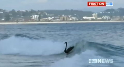 Black Swans Surf Gold Coast Waves