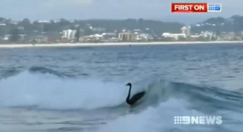 Black Swans Surf Gold Coast Waves