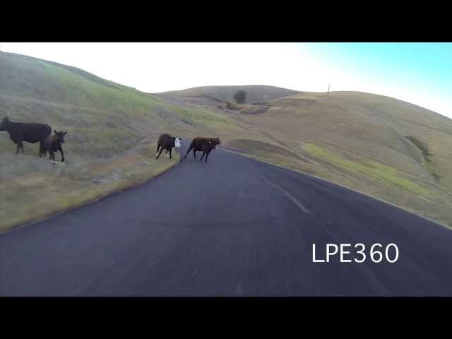 Longboarder Hits Cow!