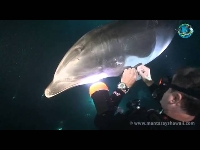 Dolphin Gets Divers to Help with Fishing Hook