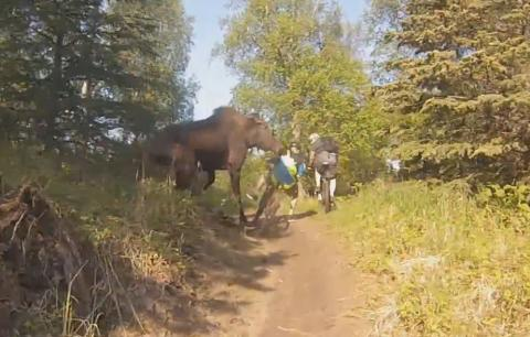 Moose Attacks Bikers in Alaska