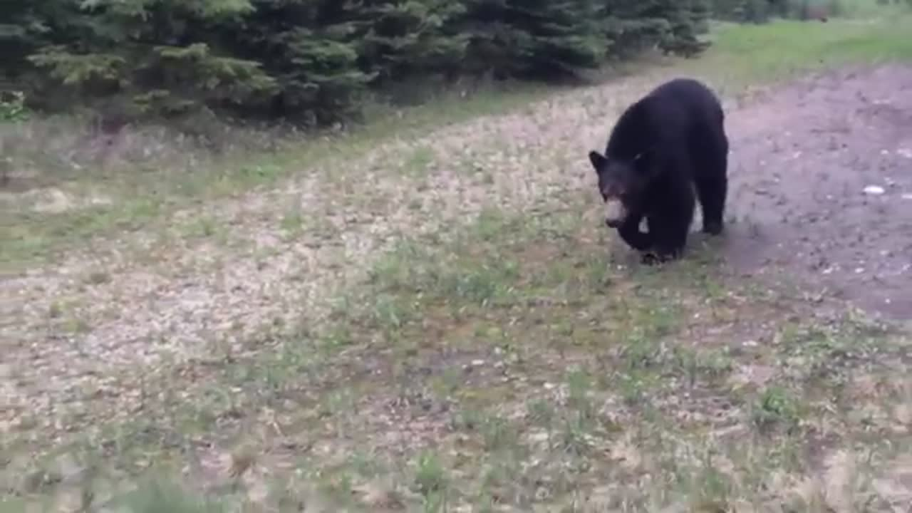 Black Bear Stalks Two Men In Canada