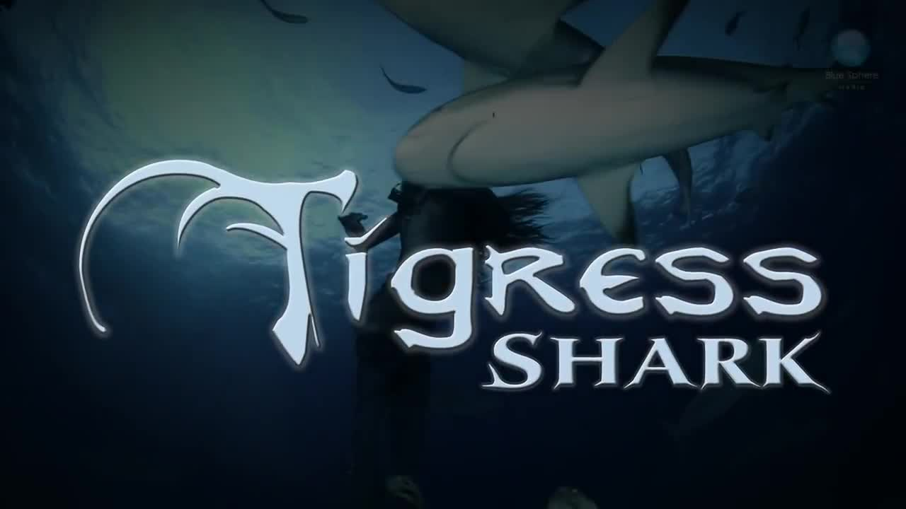 Dancing with Tiger Sharks