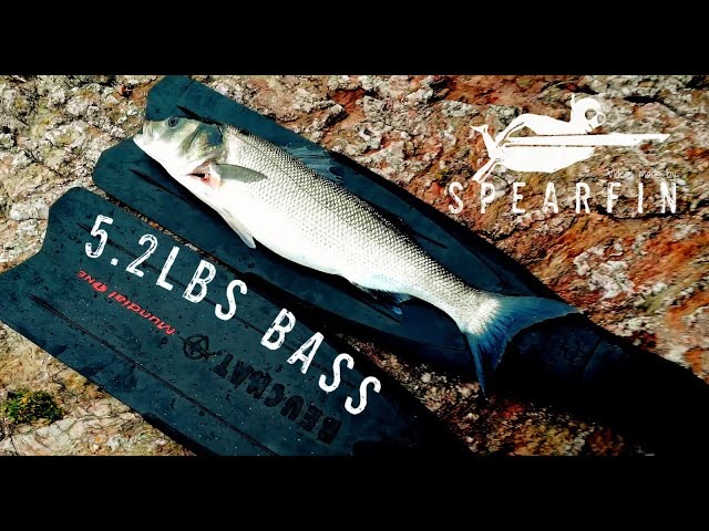 Spearfishing Big Bass